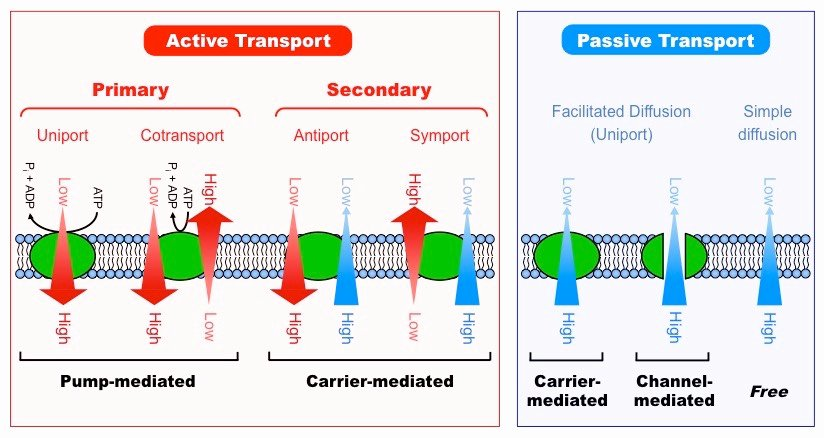 Active and Passive Transport Worksheet Luxury Types Of Transport