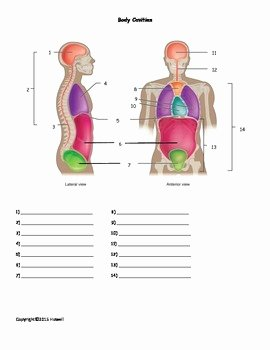 Anatomical Terms Worksheet Answers Elegant Body Cavities Quiz or Worksheet by Everything Science and