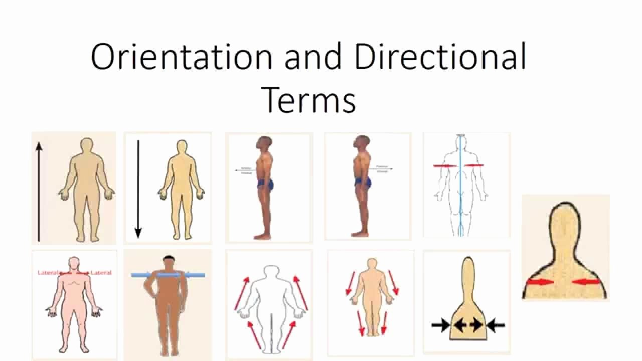 Anatomical Terms Worksheet Answers New Human Anatomy orientation and Directional Terms