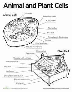 Animal and Plant Cells Worksheet Beautiful 7th Grade Science On Pinterest