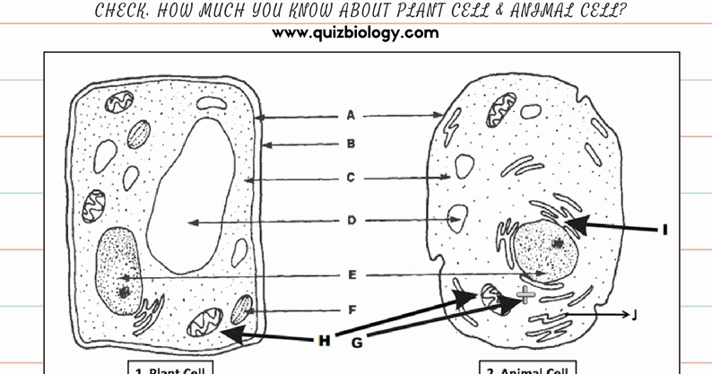 Animal and Plant Cells Worksheet Best Of Plant Cell and Animal Cell Diagram Worksheet Pdf Biology