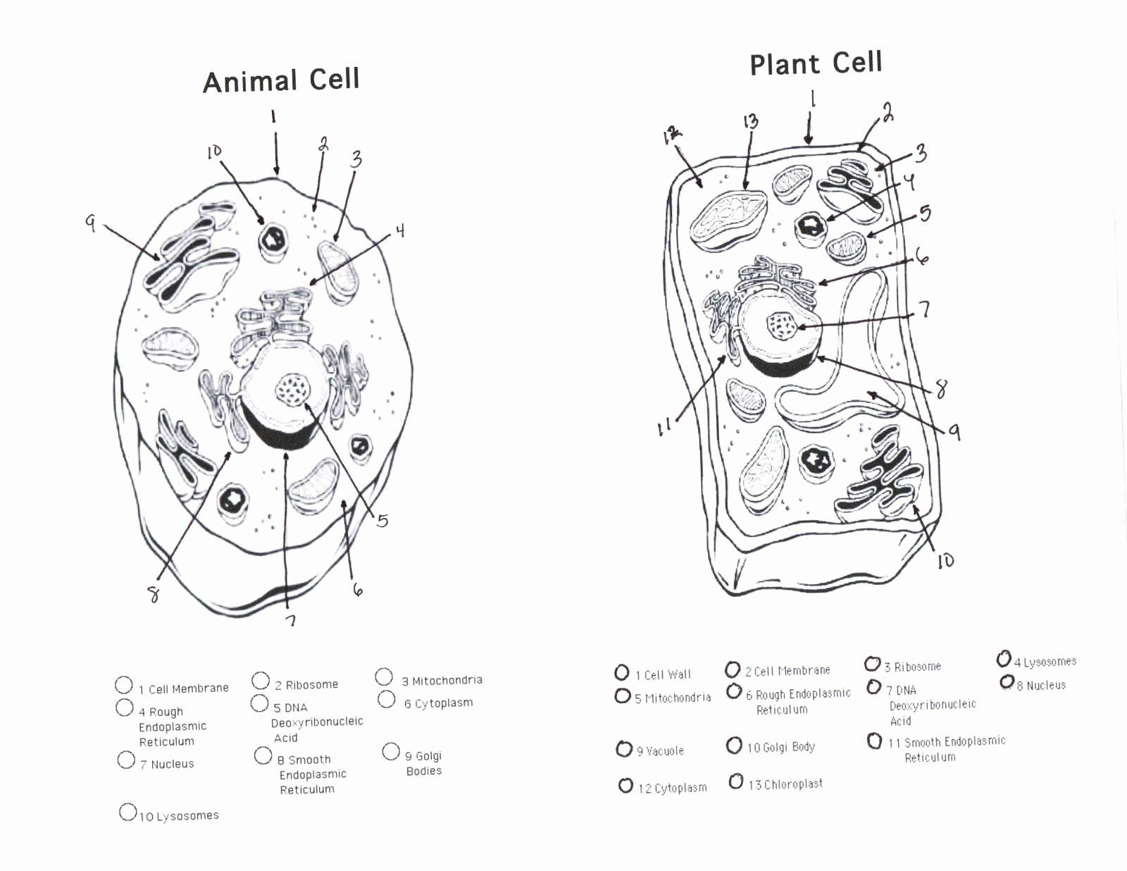 Animal and Plant Cells Worksheet Lovely Plant Cell Diagram Worksheet Diagram Gallery Wiring