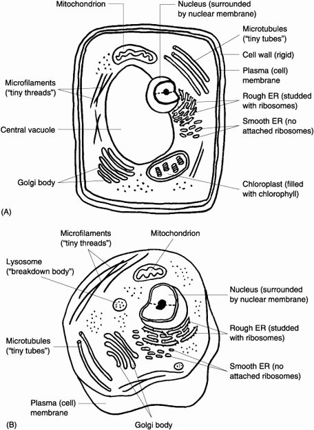 "Animal Cell Coloring Worksheet Awesome Cells the ""little Chambers"" In Plants and Animals normal"