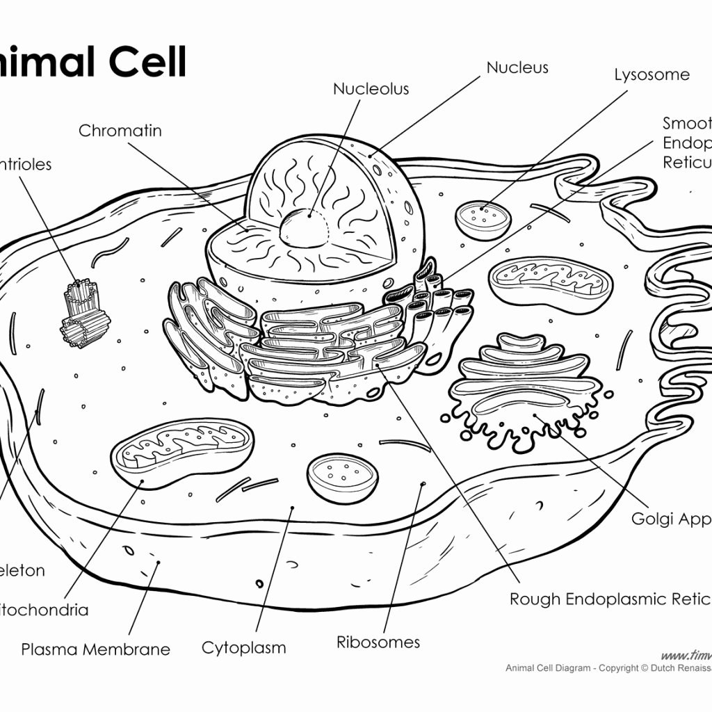 Animal Cell Worksheet Answers Lovely Animal Cell Drawing at Getdrawings