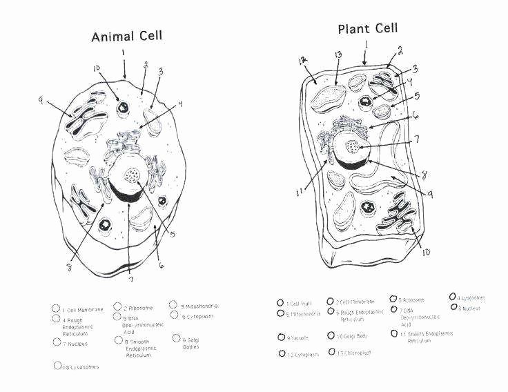 Animal Cells Coloring Worksheet New Animal Cell Worksheet