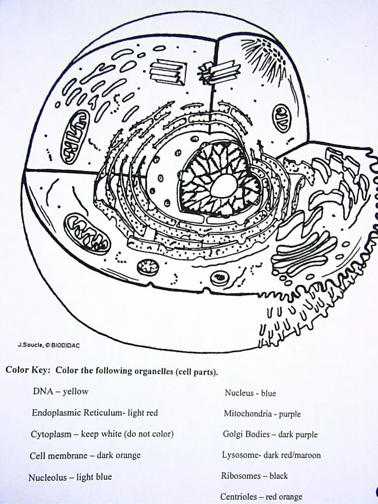 Animal Cells Coloring Worksheet Unique Cell Coloring Diagrams