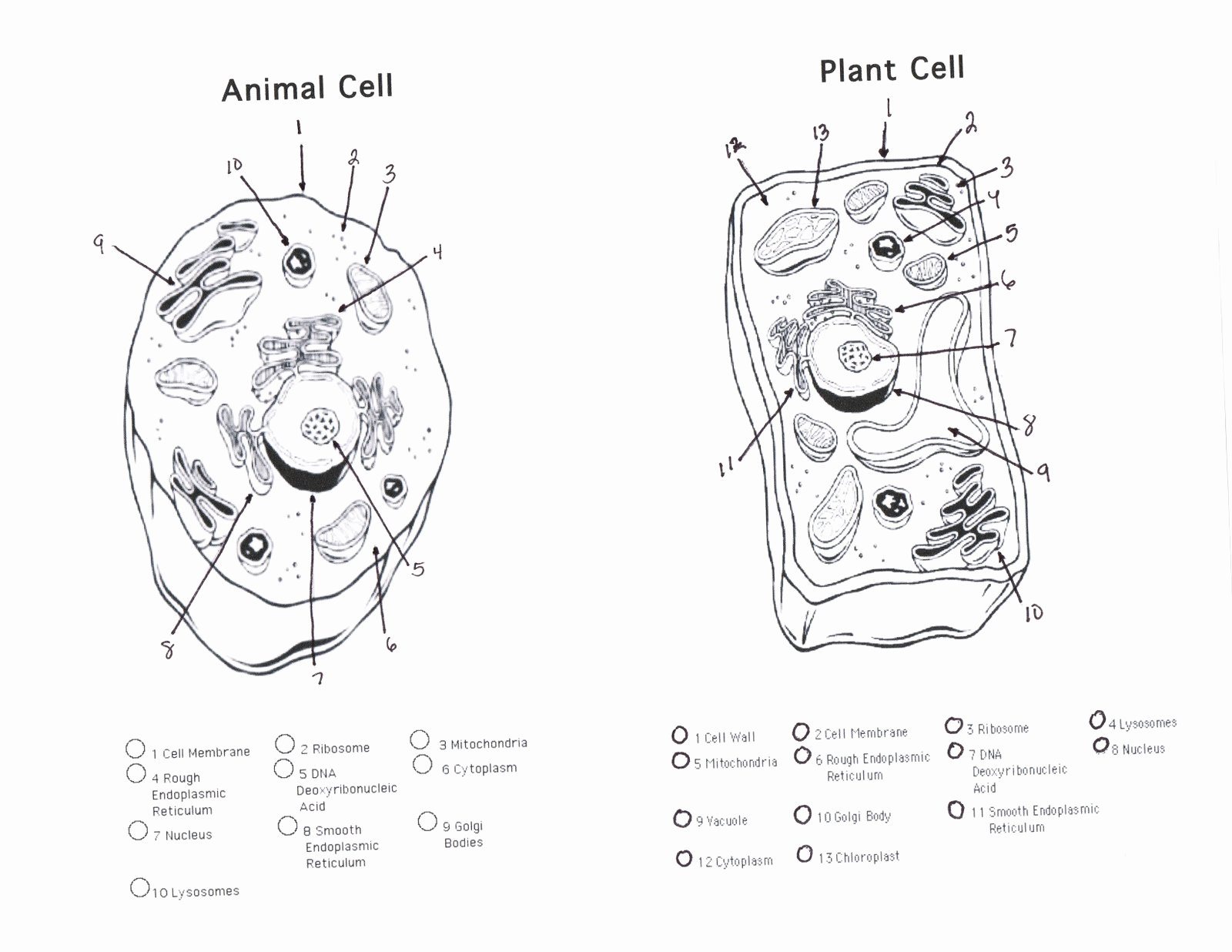 Animal Cells Coloring Worksheet Unique Parts Plants Coloring Pages Free Coloring Pages