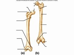 Appendicular Skeleton Worksheet Answers Beautiful Appendicular Skeleton Labeling Flashcards