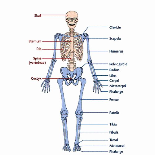 Appendicular Skeleton Worksheet Answers Best Of Notes On Appendicular Skeleton