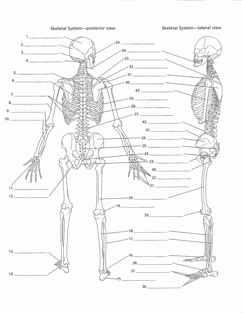 Appendicular Skeleton Worksheet Answers Elegant Appendicular Skeleton Labeling Worksheet the Best