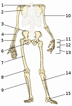 Appendicular Skeleton Worksheet Answers Fresh Free Anatomy Quiz the Appendicular Skeleton Quiz 1