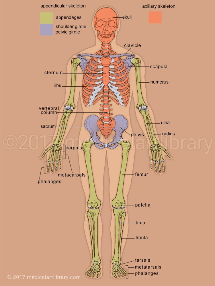 Appendicular Skeleton Worksheet Answers Lovely Skeleton Axial and Appedicular Medical Art Library