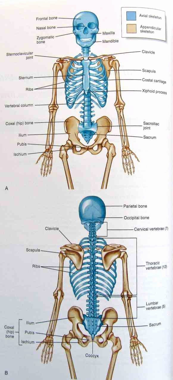 Appendicular Skeleton Worksheet Answers New Anatomy Appendicular Skeleton Bones