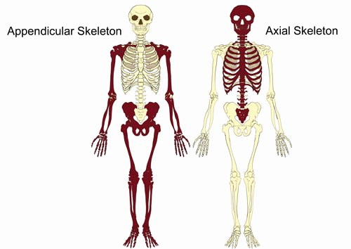 Appendicular Skeleton Worksheet Answers New the Axial & Appendicular Skeleton