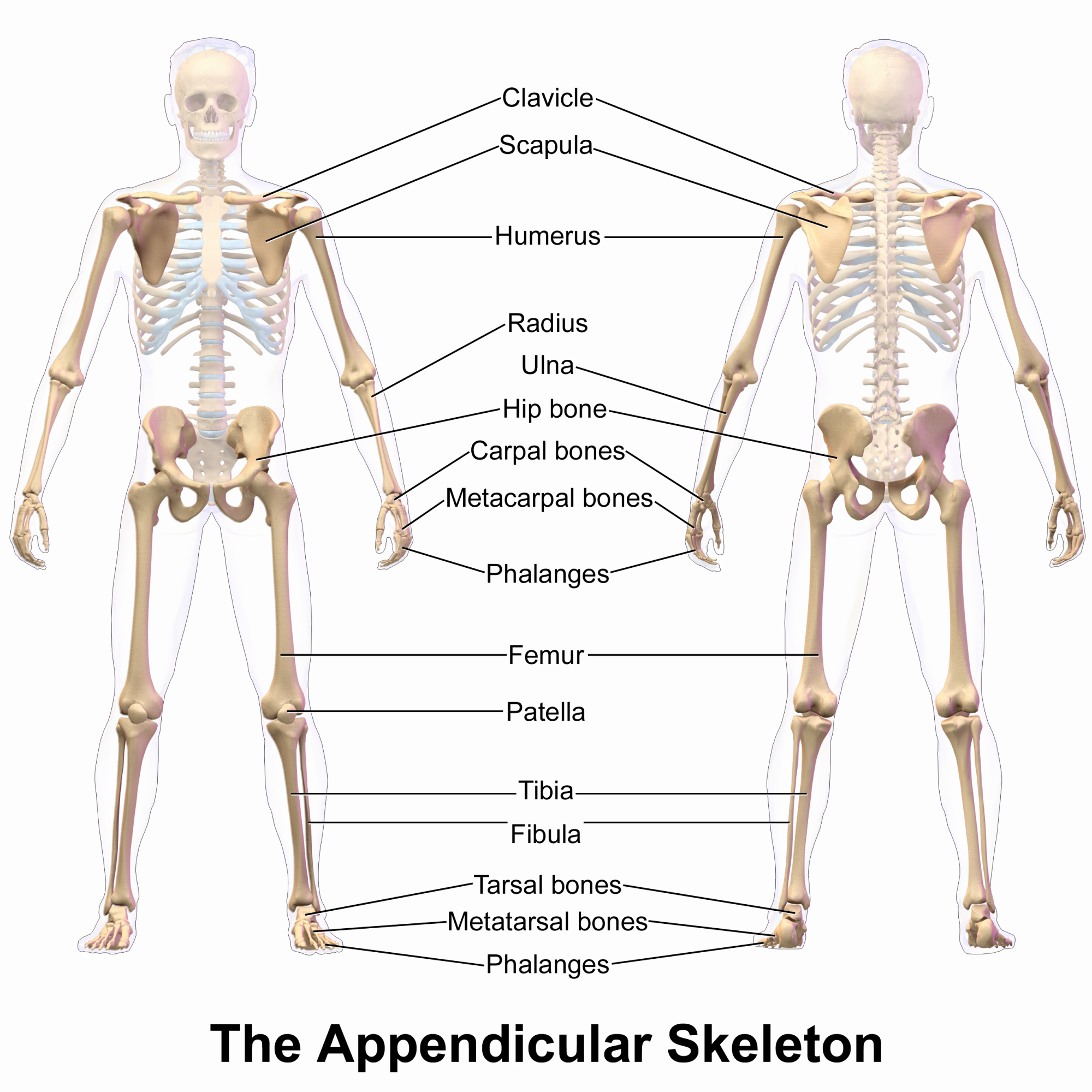 Appendicular Skeleton Worksheet Answers Unique the Appendicular Skeleton Of Human Body Line Science Notes