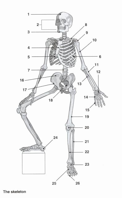 Appendicular Skeleton Worksheet Answers Unique Wel E to Mrs Burright Medical assisting Class