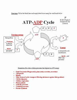 Atp Worksheet Answer Key Fresh atp Adp Cycle Worksheet by Parker S Products for the