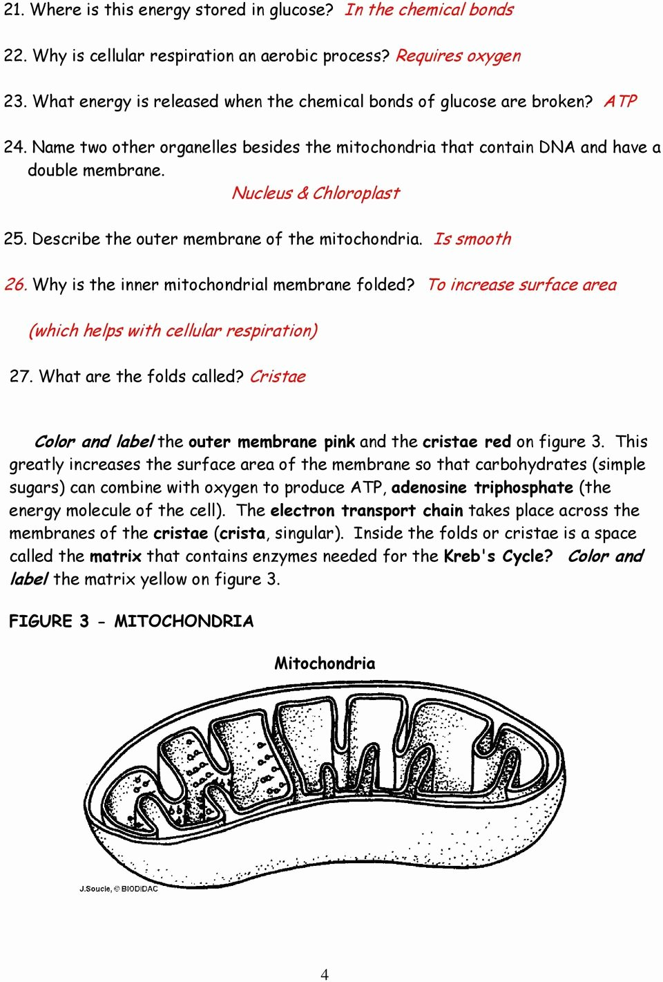Atp Worksheet Answer Key New Chloroplasts and Mitochondria Pdf