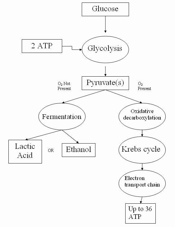 Atp Worksheet Answer Key Unique Cellular Respiration Simple English the Free