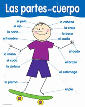 Body Parts In Spanish Worksheet Inspirational Spanish Ariel Body Parts Partes Del Cuerpo