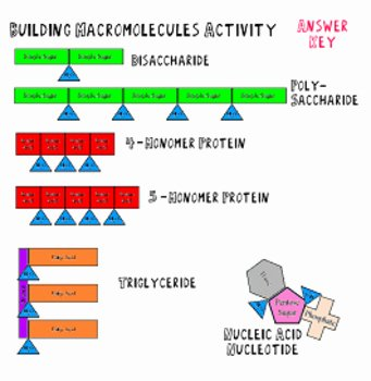 Building Macromolecules Worksheet Answers Fresh Building Macromolecules Lab Activity Notes and Review