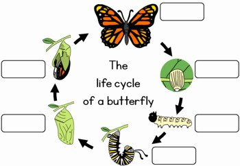 Butterfly Life Cycle Worksheet Awesome butterfly Life Cycle Worksheet by Little Blue orange