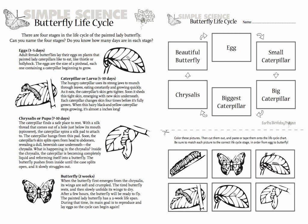 Butterfly Life Cycle Worksheet Elegant From Caterpillar to Painted Lady butterfly
