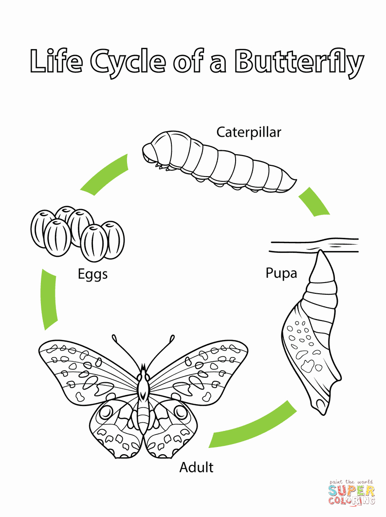 Butterfly Life Cycle Worksheet Elegant Life Cycle Of A butterfly Coloring Page