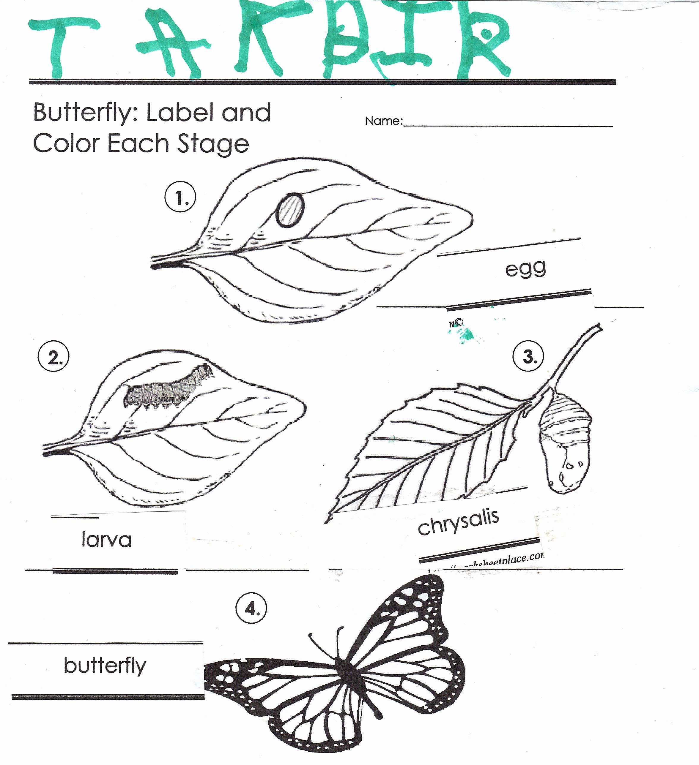 Butterfly Life Cycle Worksheet Unique the butterfly Life Cycle