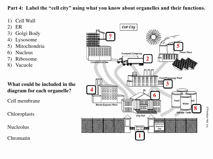 Cell City Analogy Worksheet Beautiful Proteinpower Infoweb