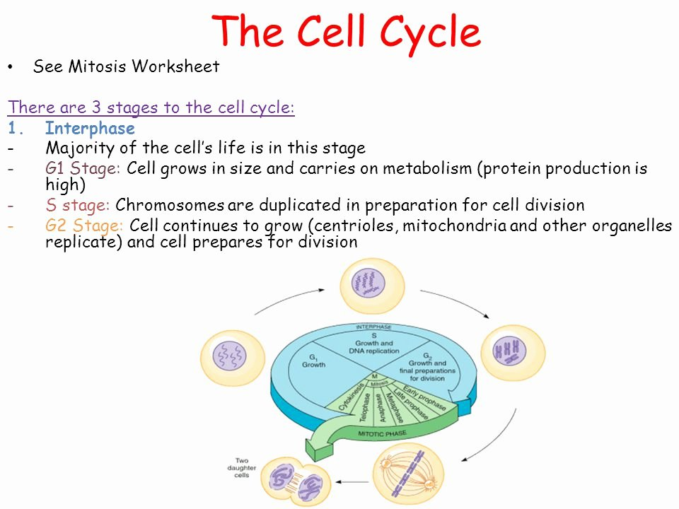 Cell Cycle and Mitosis Worksheet Elegant Download Advances In Natural Language Processing 6th
