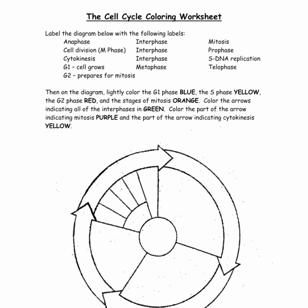 Cell Cycle Coloring Worksheet Awesome Cell Cycle Drawing Worksheet at Getdrawings