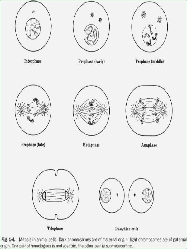 Cell Cycle Coloring Worksheet Awesome Phases the Cell Cycle Worksheet Answer Key