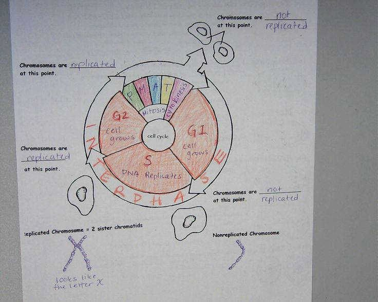Cell Cycle Coloring Worksheet Fresh the Cell Cycle Worksheet Answer Key