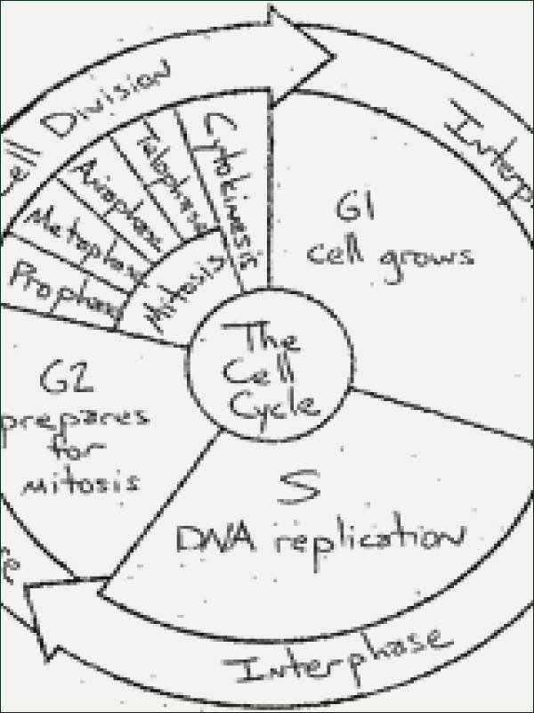Cell Cycle Coloring Worksheet Lovely Cell Cycle Coloring Worksheet Answer Key Sketch Coloring Page