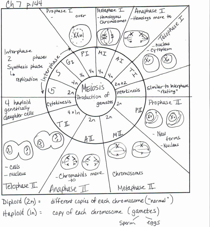 Cell Cycle Coloring Worksheet Luxury Cell Cycle Drawing Worksheet at Getdrawings