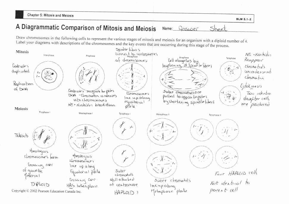 Cell Cycle Worksheet Answer Key New Cell Cycle and Mitosis Worksheet Answers
