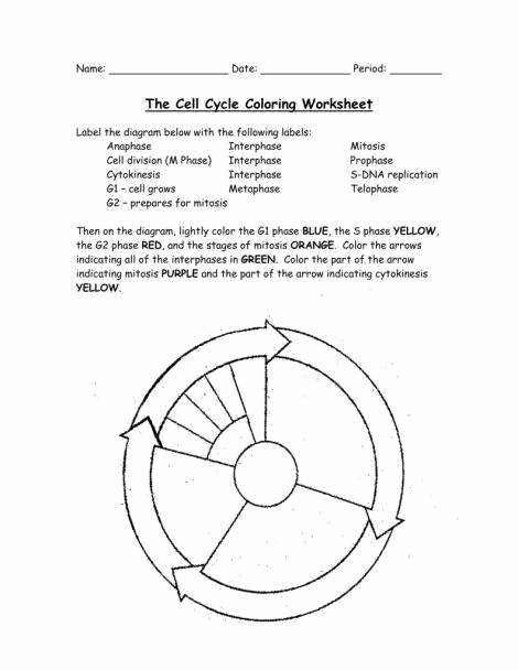 Cell Cycle Worksheet Answer Key New the Cell Cycle Worksheet Answer Key
