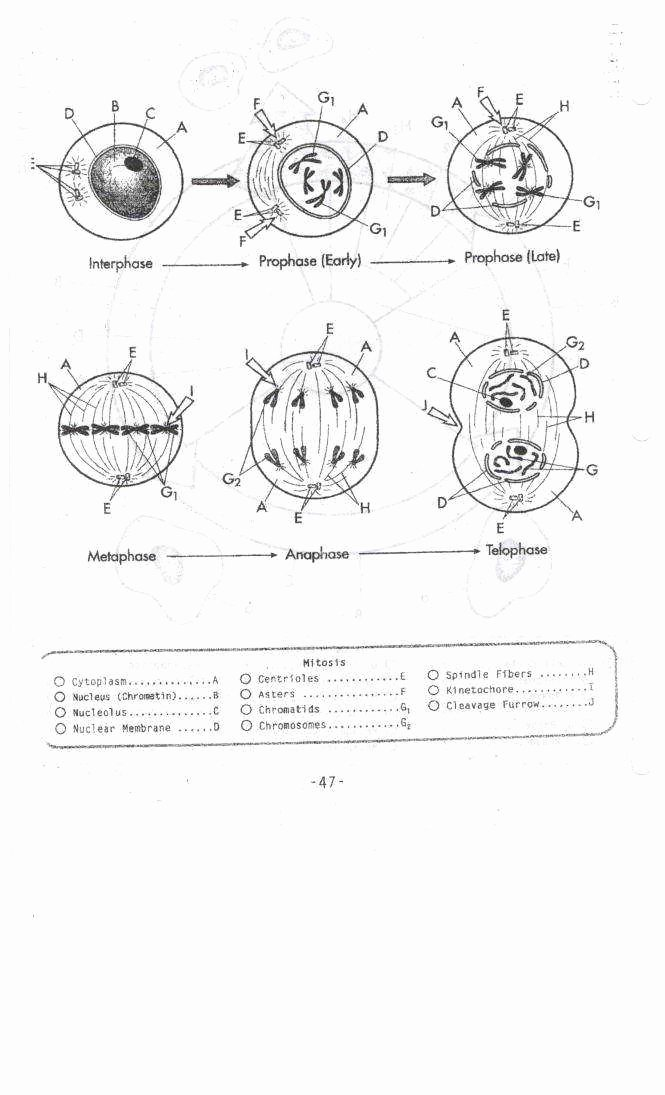 Cell Cycle Worksheet Answer Key Unique Mitosis Worksheet Answers