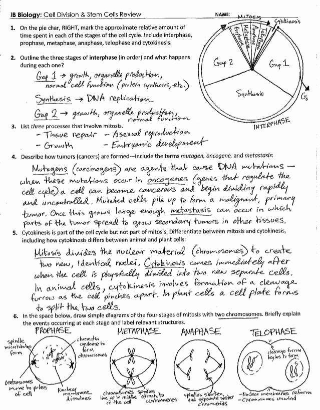 Cell Division Worksheet Answers Inspirational Mitosis Coloring Answer Key
