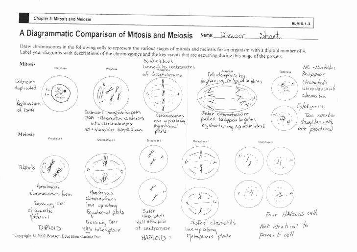 Cell Division Worksheet Answers Luxury Mitosis Worksheet Answers