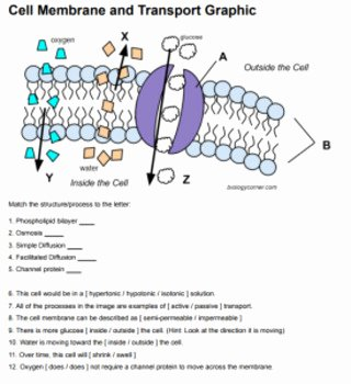Cell Membrane Images Worksheet Answers Awesome Cell Membrane Transport Graphic Answer Key by