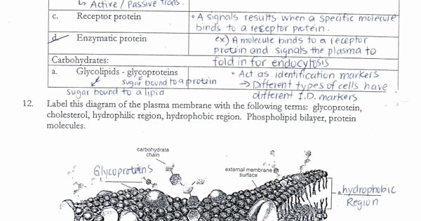 Cell Membrane Images Worksheet Answers Fresh Cell Membrane Coloring Worksheet Answer Key