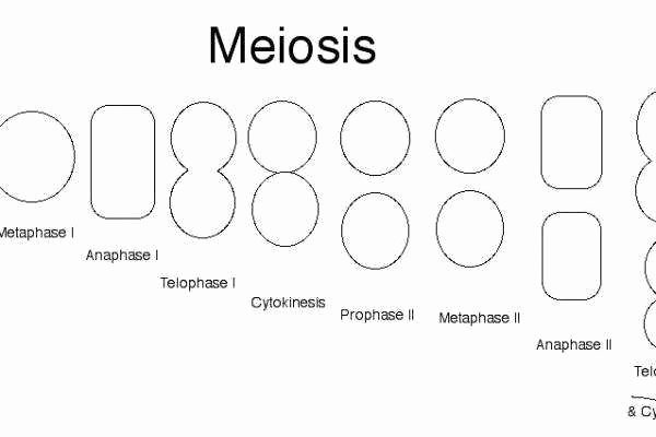 Cells Alive Cell Cycle Worksheet Awesome Phases Meiosis Worksheet
