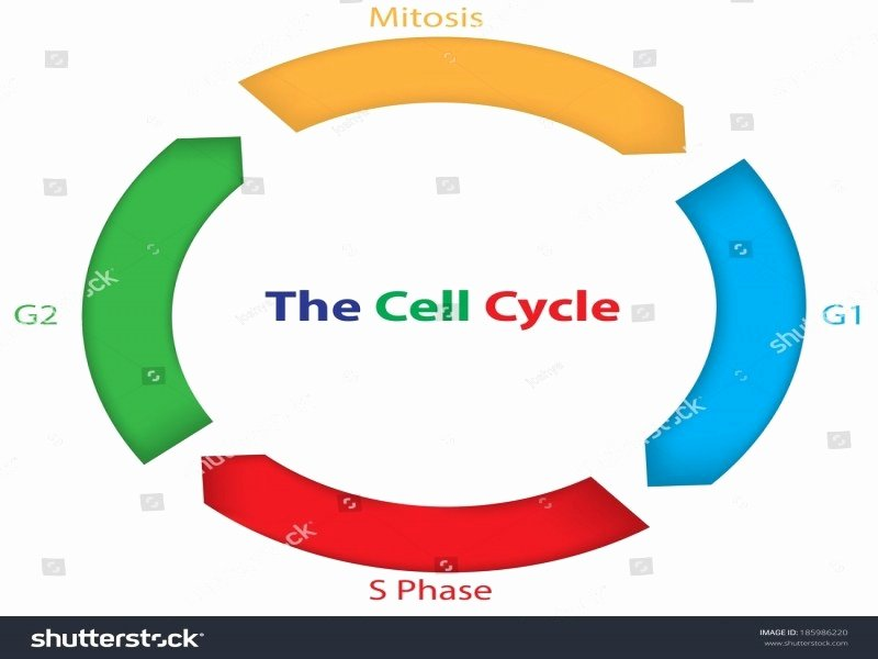 Cells Alive Cell Cycle Worksheet Inspirational Cells Alive Cell Cycle Worksheet Answers Free Printable