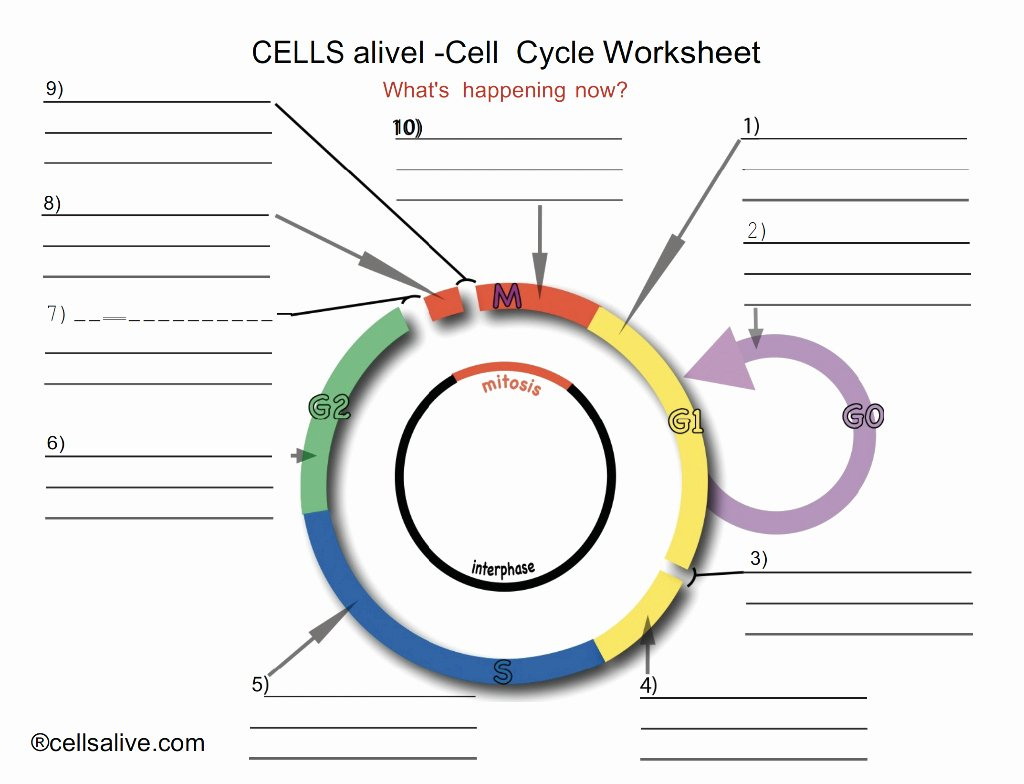 Cells Alive Cell Cycle Worksheet Luxury Amazing solved Cells Alivel Cell Cycle Worksheet What S