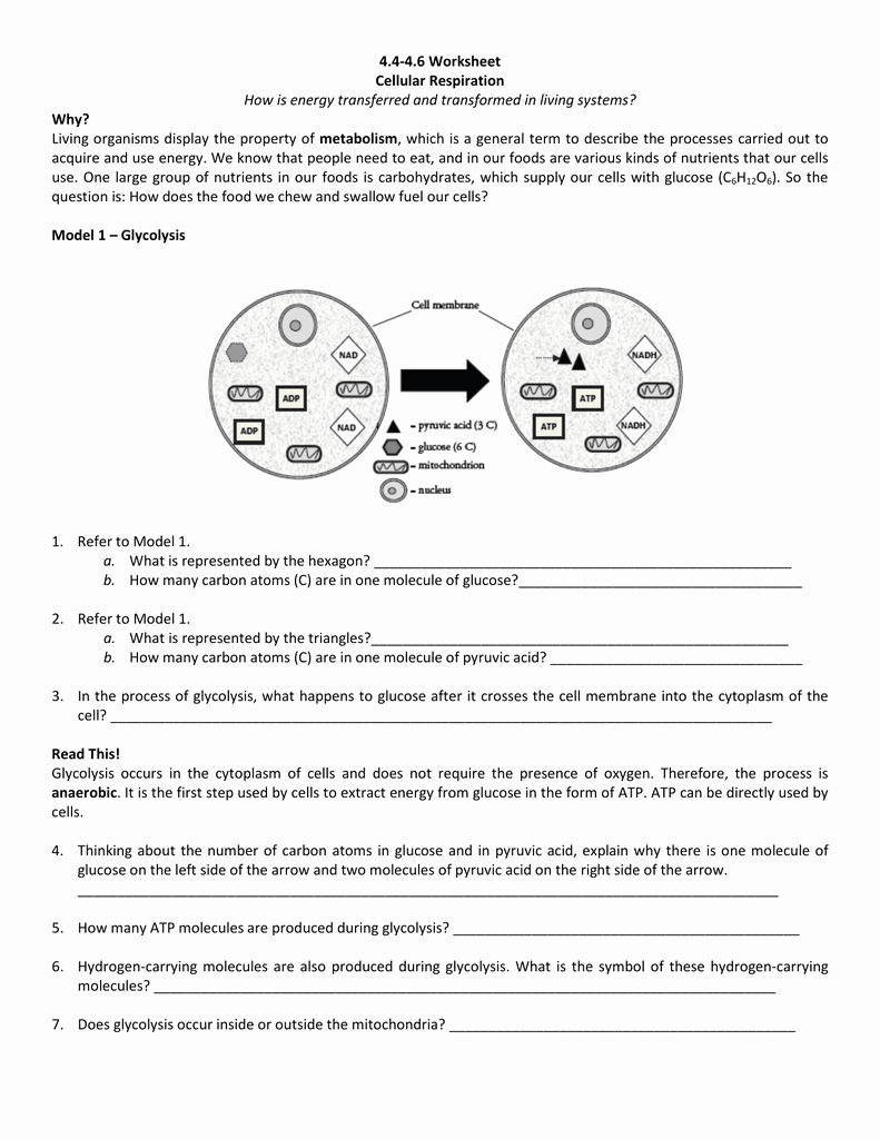 Cellular Respiration Worksheet Answer Key Lovely 4 4 4 6 Worksheet Cellular Respiration How is Energy