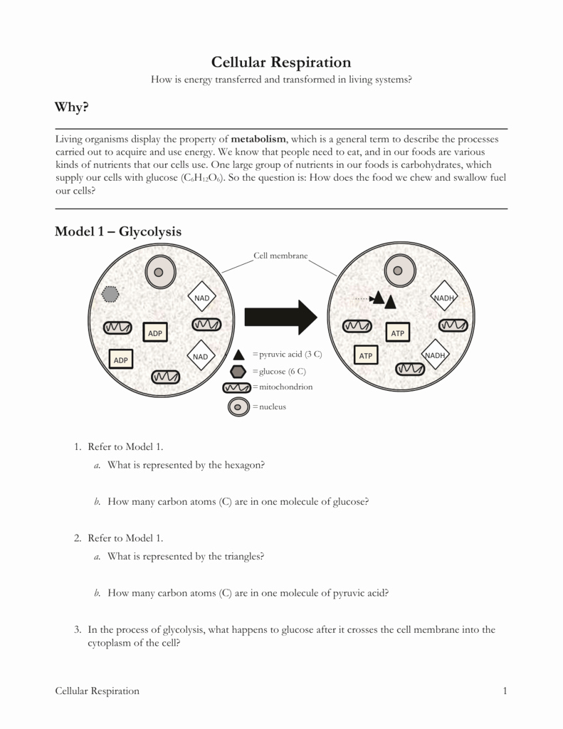 Cellular Respiration Worksheet Answer Key Lovely High School Biology Worksheets with Answers Pogil High