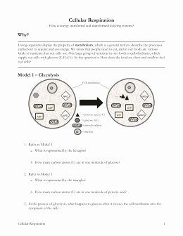 Cellular Respiration Worksheet Key New How Cells Harvest Chemical Energy