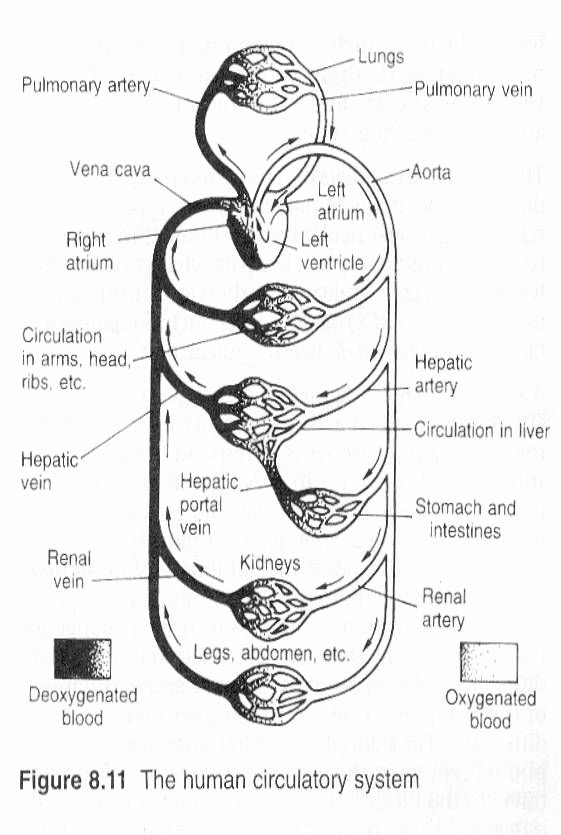 Circulatory System Worksheet Answers Fresh Circulatory System Diagram Worksheet